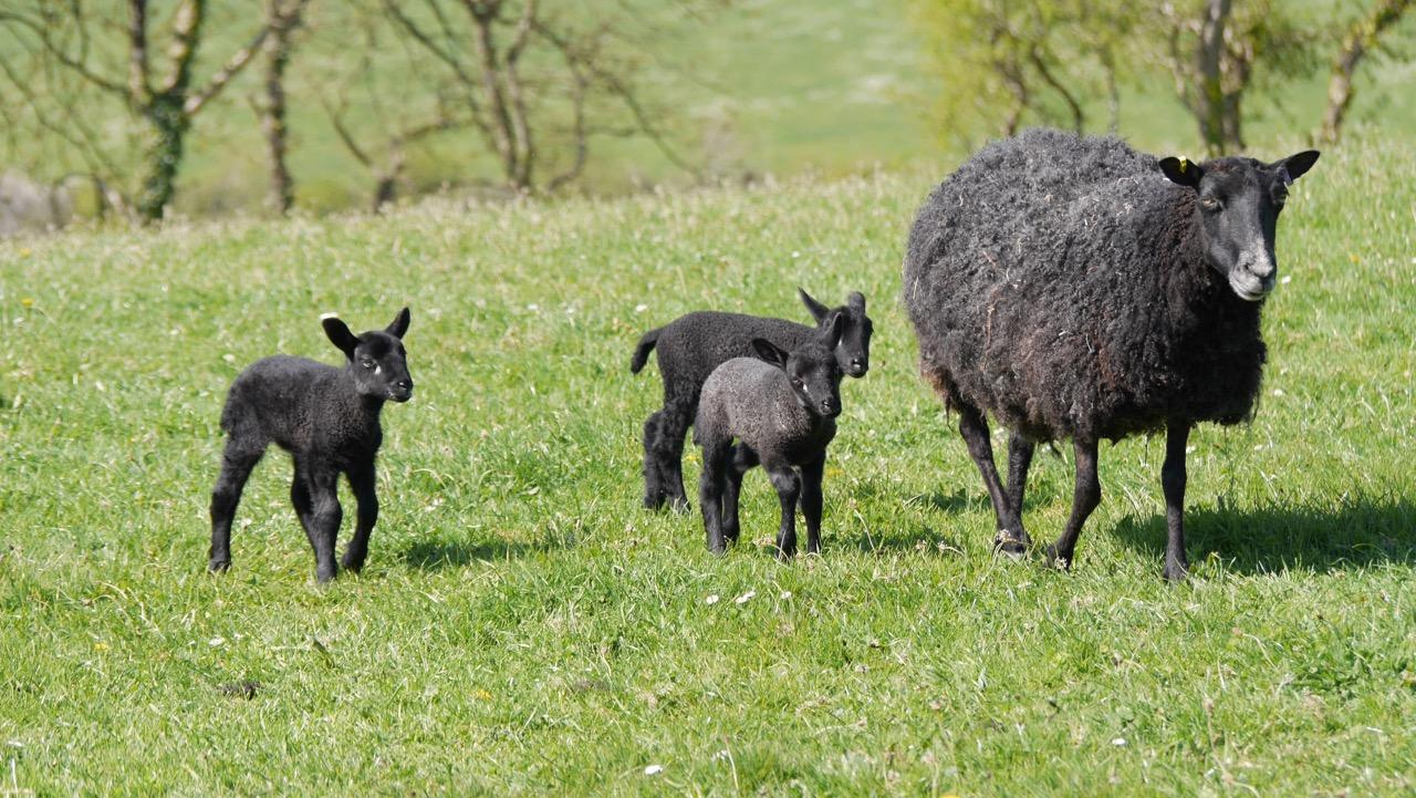 Gotland sheep triplets